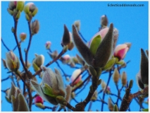 Magnolia blossom peeking out