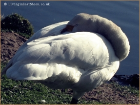Beautiful swan, serene
