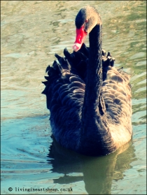 Stunning black swan