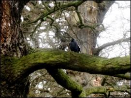 Blackbird.