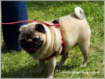 Fawn pug having fun