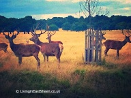 Richmond Park Deer