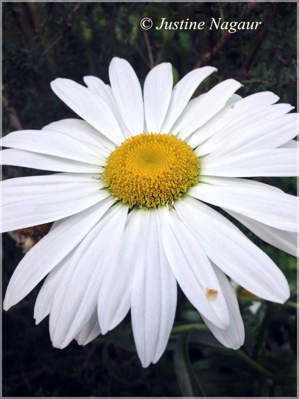 large daisy in SW14