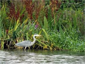 Crane or heron?