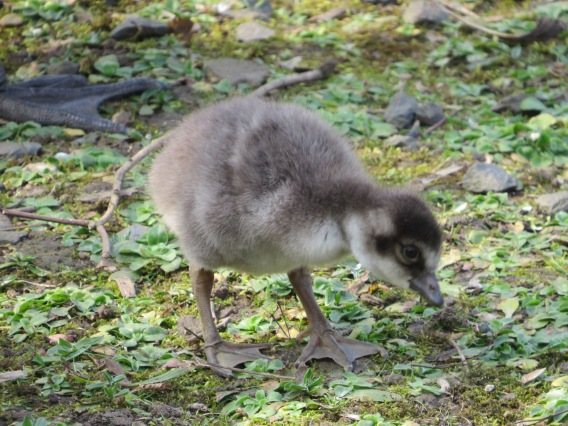 Nene Goslings at the Wetlands Centre